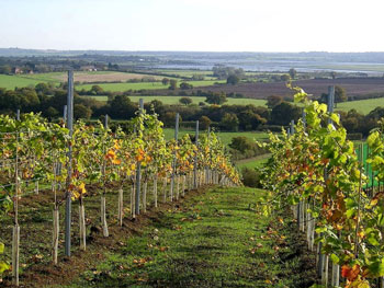 Martin's Lane vineyard overlooking the Crouch Valley