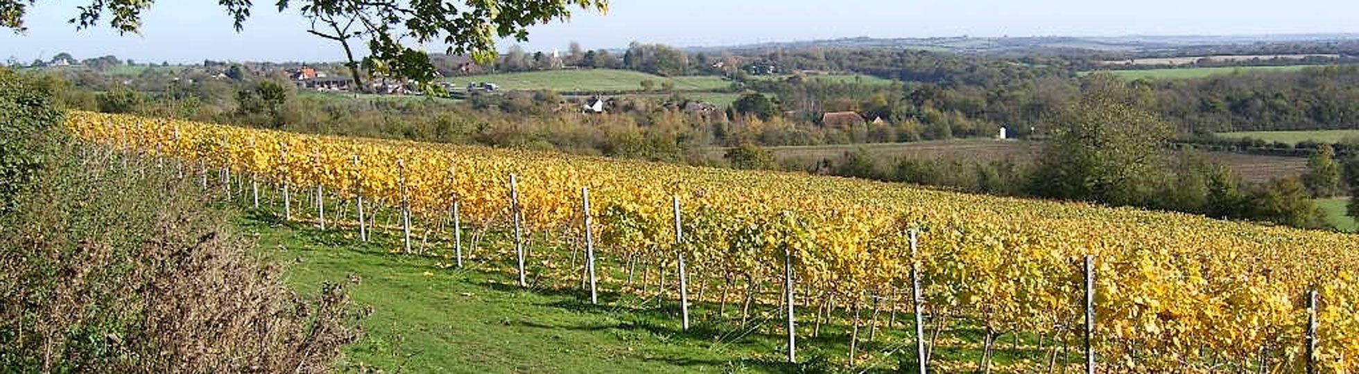 After the harvest of Pinot Noir & Chardonnay at Martin's Lane, Stow Maries, Essex